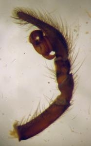 prepared left palpus of Pireneitega spasskyi (Amaurobiidae)