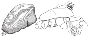 Habitus of the male of Incestophantes shetekaurii Otto & Tanasevitch 2015